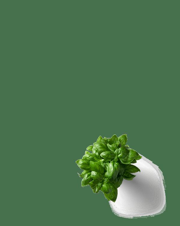 basil-plant